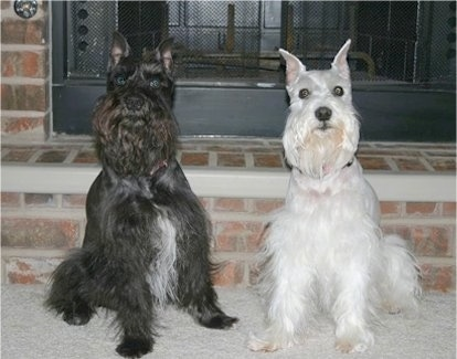 A black with white Miniature Schnauzer and a white Schnauzer are sitting side by side in a house in front of a fireplace.