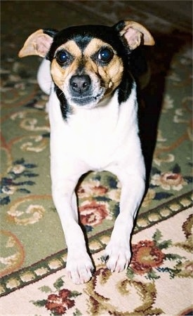 View from the front - A tricolor white with brown and black Miniature Fox Terrier is laying on a green, tan, pink and white rug that has a flower pattern on it.