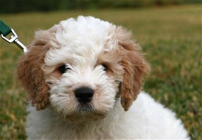 Close up front view head shot - A white with tan Petite Goldendoodle puppy is sitting in grass looking forward.