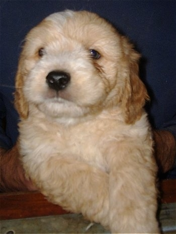 Close up front view - A tan and cream colored Petite Goldendoodle puppy is being held in a persons hands. The puppy is looking to the left.