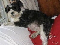 A black, gray and white Miniboz dog is laying over the back of a couch that is covered with a white blanket with its back end sitting on a red pillow.