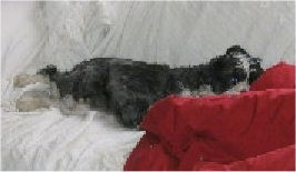 A black, gray and white Miniboz is laying on a couch covered with a white blanket with its head on a red pillow.