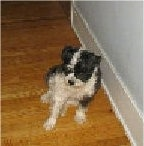 A black, gray and white Miniboz dog is sitting on a hardwood floor next to a white wall looking to the left.
