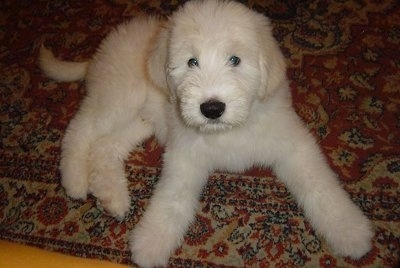 A fluffy, white Mioritic Sheepdog puppy laying on a red oriental rug looking up.
