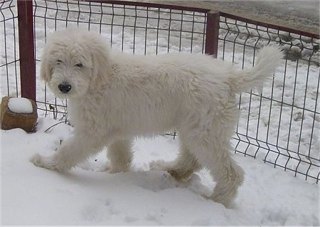 Side view - A fluffy, white Mioritic Sheepdog puppy is walking across snow looking towards the camera. There is a small fence behind it.