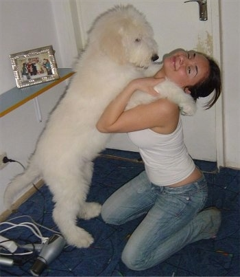 A fluffy, white Mioritic Sheepdog puppy is standing on its hind legs and its front paws are on the shoulders of a girl in blue jeans and a white tank top who is kneeling down on her knees in front of it.