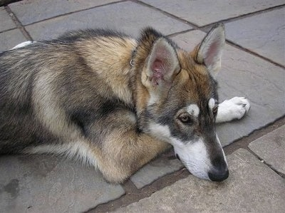 A wolf-looking, perk-eared, grey with black and tan Northern Inuit Dog is laying down on a flagstone surface.
