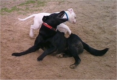 A white American Bulldog is jumping on the back of a black Labrador that is biting at the Bulldog.