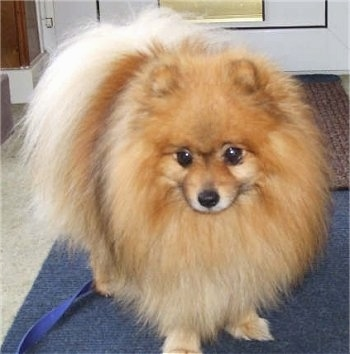 Front view - A tan with white Pomeranian is standing on a blue rug and it is looking forward. There is a door behind it.