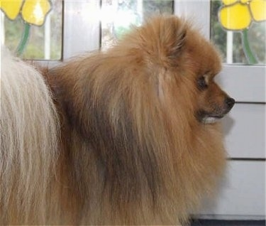 The front right side of a brown with black Pomeranian that is facing a door that has yellow stain glass flowers in the window.