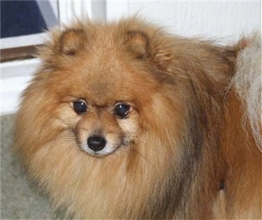 Close up - The front of a brown with black Pomeranian that is standing on a carpet.
