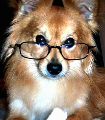 Close up front view head shot - A tan with white Paperanian dog is wearing black reading glasses looking forward.
