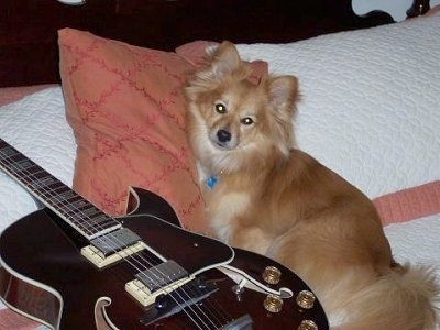 Side view - A tan with white Paperanian dog is leaning on a peach colored pillow next to an electric guitar.