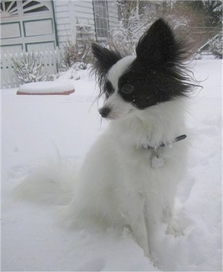 Front side view - A perk-eared, white with brown Papillon is sitting in snow looking to the left. There is a white house behind it.