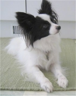 Baby  Pictures on Papillon Information And Pictures  Papillons  Butterfly Dog  Pap