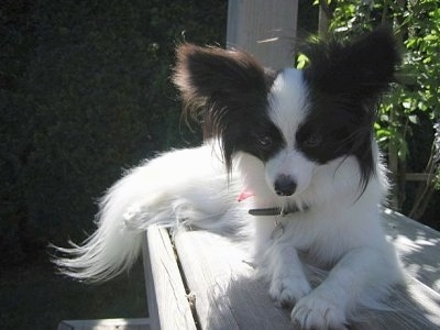 Front view - A white with brown Papillon is laying on a wooden bench looking down over the edge.