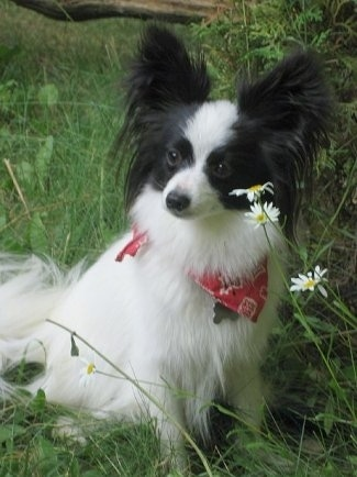 Front side view - A white with black Papillon is sitting in tall grass in front of three daisy flowers looking to the left. It is wearing a red bandana.