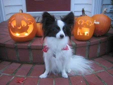 Front view - A white with brown Papillon is sitting on brick steps and there is a line of carved pumpkins behind it. Two of the jack o lanterns have lit candles in them.