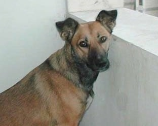 A rose-eared, short-haired, tan with black Pariah Dog is sitting in front of a small concrete wall and is turned to look at the camera.