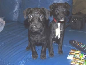 A black Patterdale Terrier is sitting on a blue couch next to a black with white Patterdale Terrier. There are two unopened packs of Energizer batteries and a TV remote next to them.
