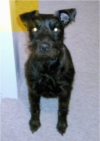 Close up front view - A black Patterdale Terrier is sitting on a carpet and it is looking up.