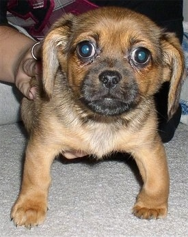 Front view - A brown and black Peagle puppy is standing on a tan carpet looking forward and a person behind it has their hands on its back. The pups front legs looked bowed outward.