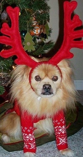A fluffy tan with white, grey and black Peek-A-Pom dog is sitting on a dog bed under a christmas tree. The Peek-A-Pom is wearing a christmas sweater and also reindeer antlers. There is a University of Tennessee ornament on the christmas tree.