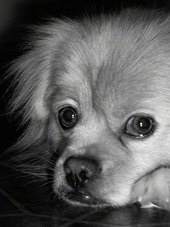 Close up head shot - A black and white photo of a Peek-A-Pom laying down on a kitchen floor. It has wide round eyes.