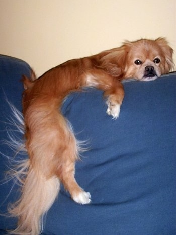 Side view - A tan with white, grey and black Peek-A-Pom is laying on the back of a blue couch with its body between the cushions. It has long hair on its tail.