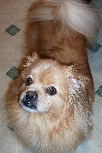 A longhaired tan with white Peek-A-Pom dog is standing on a tan and green tiled floor looking up and to the left.