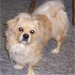 Front side view - A long haired, tan with white Peke-A-Poo dog is standing on a tan carpet under a table looking forward. Its head is slightly tilted to the right.