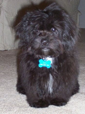 Front view - A longhaired, black with white Peke-A-Chon puppy is standing on a carpet and it is looking forward. Its long coat is covering up its left eye.