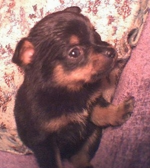 A small young black with brown Pineranian puppy is standing in between the arm of a couch and a pillow facing the left.