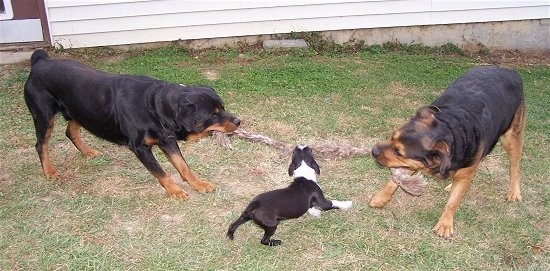 Two black with brown Rottweilers are having a tug of war across from each other. There is a small toy dog black with white Boston Terrier biting the middle of the rope.