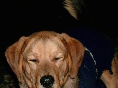 Close up - A tan with black Polish Hound is wearing a sweater and its eyes are closed.