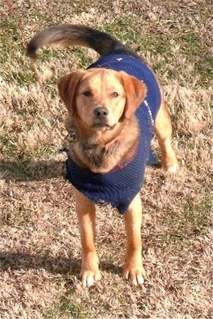 Front view - A tan with black Polish Hound is standing on patchy brown grass and it is looking up. It is wearing a blue sweater.