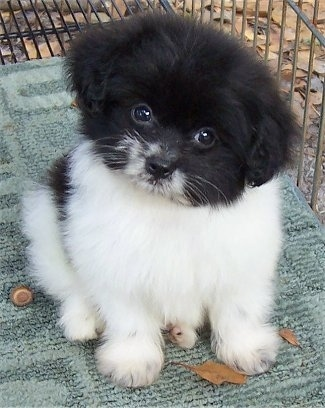 A fuzzy little black and white Pom-A-Poo puppy is sitting on a rug that is placed in a crate. Its head is tilted to the right and it is looking forward.