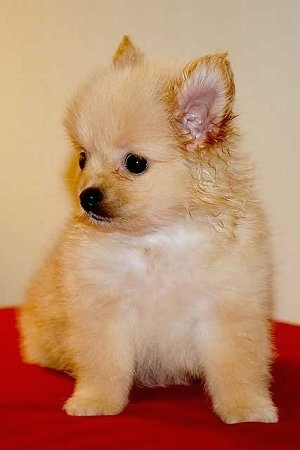 Pitty, the Pom-Chi as a puppy. Pitty's mom is a Long Hair Chihuahua and her