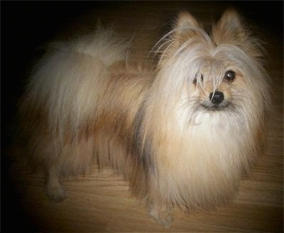 A long-haired tan with white and black Maltipom dog is standing on a hardwood floor and looking up.