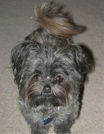 Close up front view - A long haired black with gray Pomapoo dog is standing on a carpet and it is looking up.