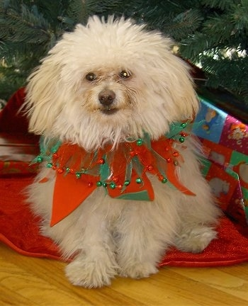 A long-haired, furry, tan Pomapoo is wearing a red and green elf ring around its neck sitting under a Christmas tree next to a present and it is looking forward.