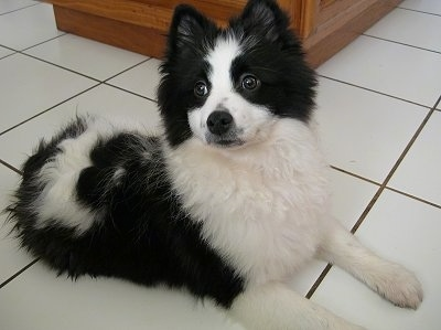 Side view - A black and white parti-colored Pomeranian puppy is laying on a tiled floor and it is lifting up its head. It is looking to the left.