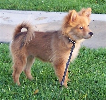 Right Profile - A red Pomimo puppy is standing in grass and it is looking to the right. Its tail is curled up over its back.