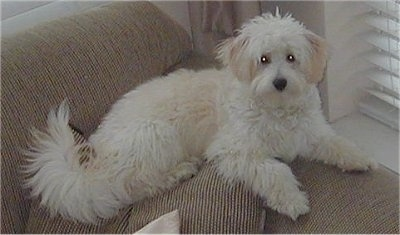 Side view - A wavy-coated, white with tan Poo-Shi dog is laying on a tan couch looking up.