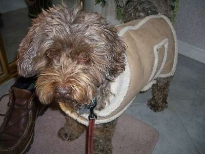 Close up front side view - A wavy-coated, Poogle dog is standing on a tiled floor wearing a brown and tan jacket looking forward.