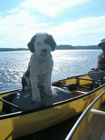 A curly coated, white with black Portuguese Water Dog is sitting on a canoe that is on water and it is looking forward. Its mouth is open and it looks like it is smiling.