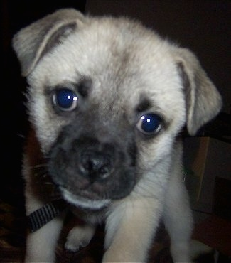 Close up front view - A tan with black Pug-A-Mo puppy is leaning forward.