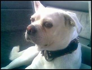 Close up front view - A white Pug-A-Mo is laying in the passenger seat of a vehicle and it is looking to the left.