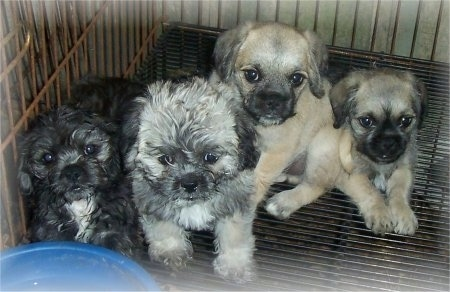 A litter of Pug-A-Poo Puppies are sittting in a crate and they are all looking up. There is a blue bowl of water above them. Two of the puppies have longer wavy coats and two puppies have short coats.
