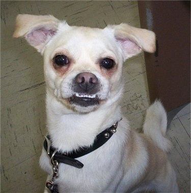 A rose-eared, tan and white Smooth Fox Terrier/Pug mix breed dog is jumped up on the leg of a person and it is looking up. The bottom row of its teeth are showing because of its underbite. The dog has brown stains under its eyes